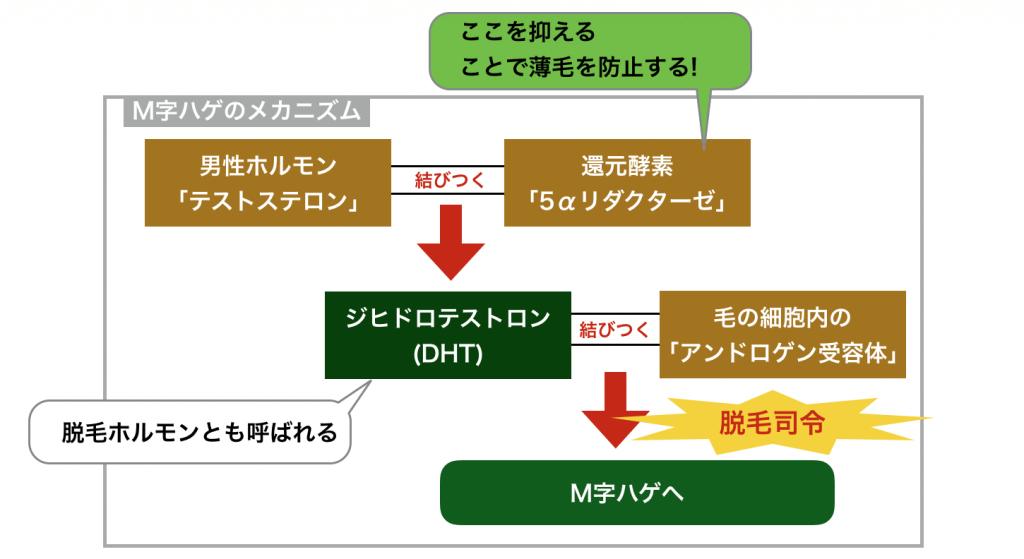 M字ハゲのメカニズム