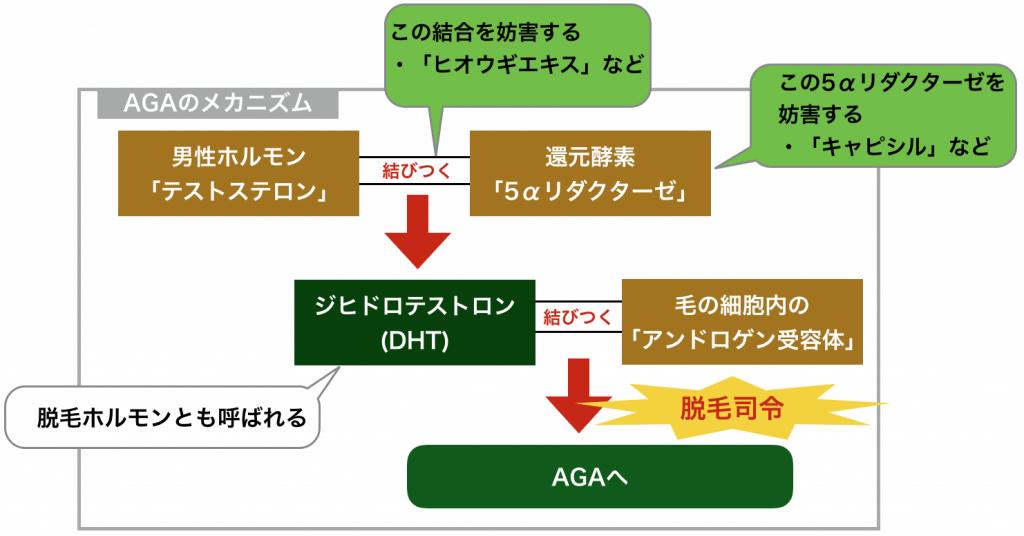 AGAのメカニズム