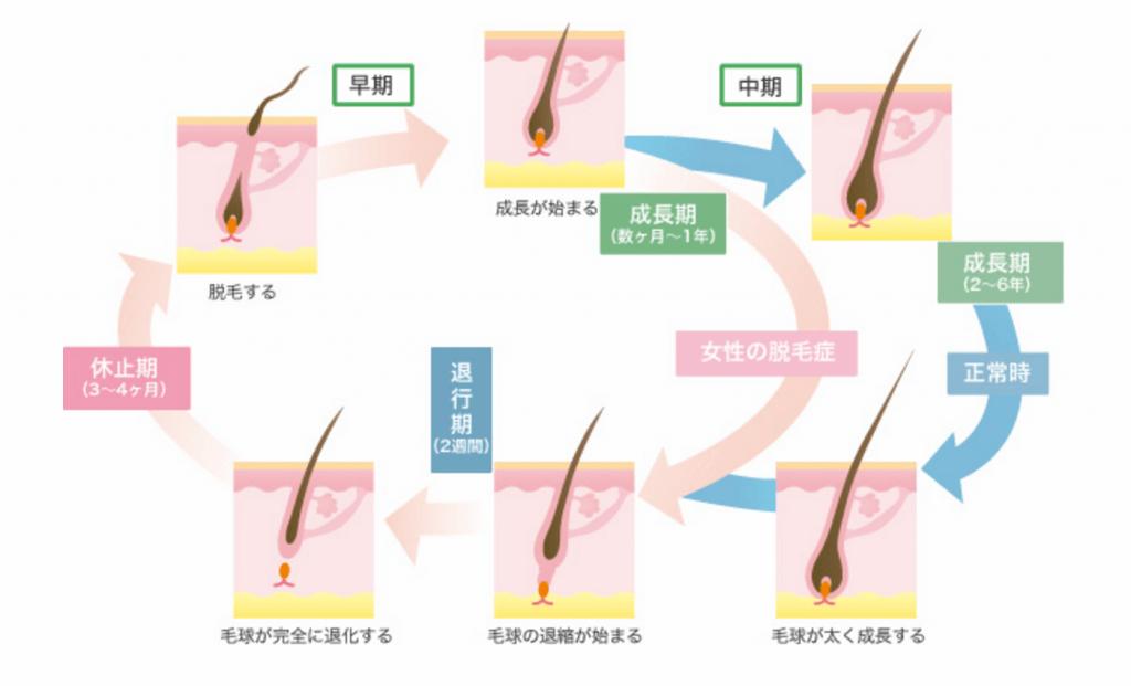 髪の毛の成長サイクル