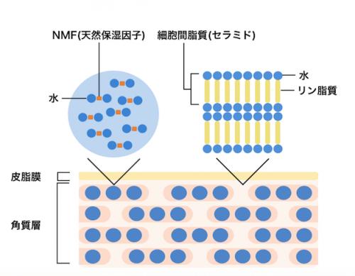 皮膚表面と細胞間脂質(セラミド)とNMF(天然保湿因子)