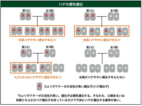 ハゲの優性遺伝イメージ