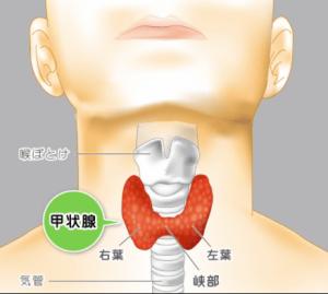甲状腺のイメージ