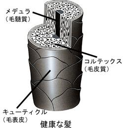髪の構造のイメージ