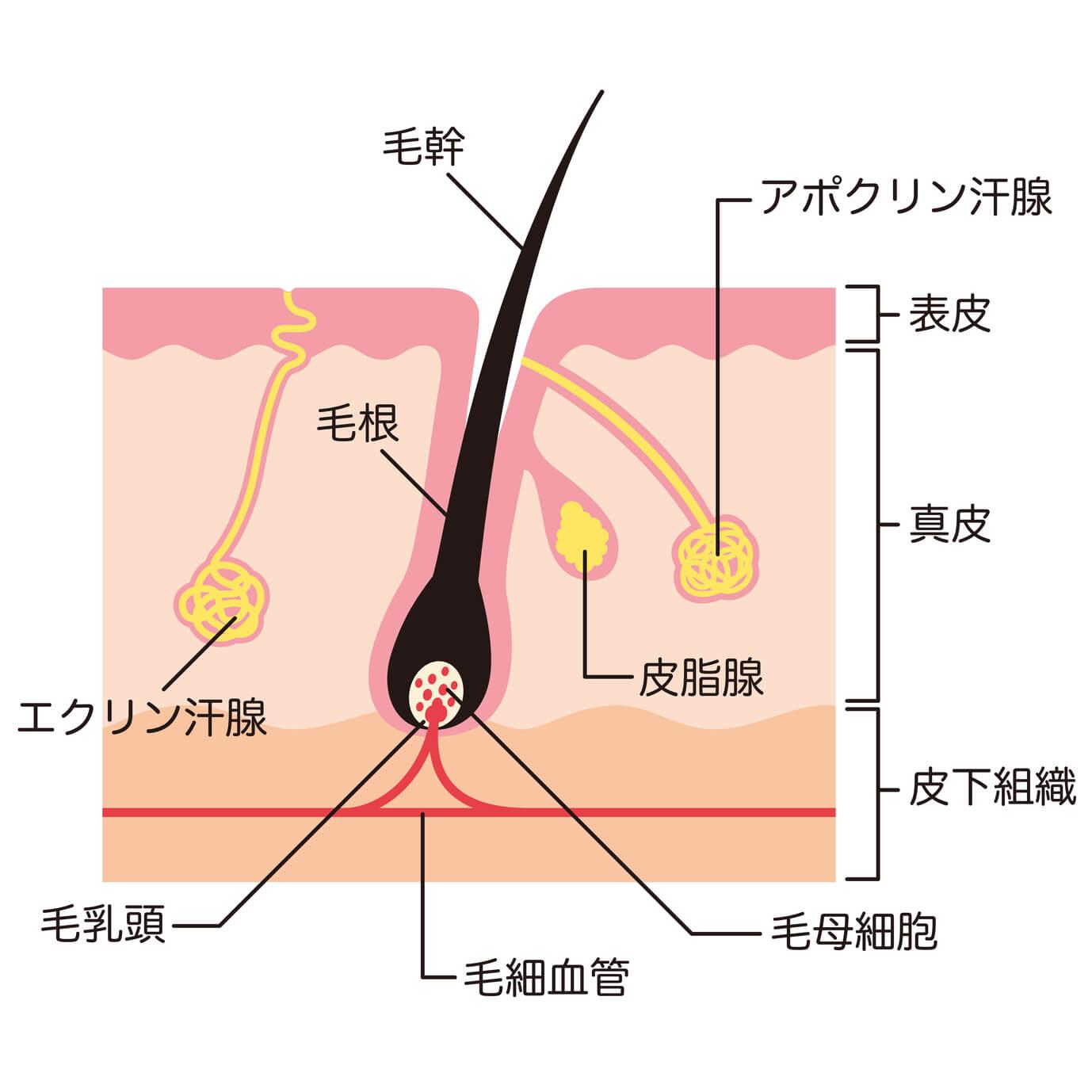 頭皮の構造のイメージ