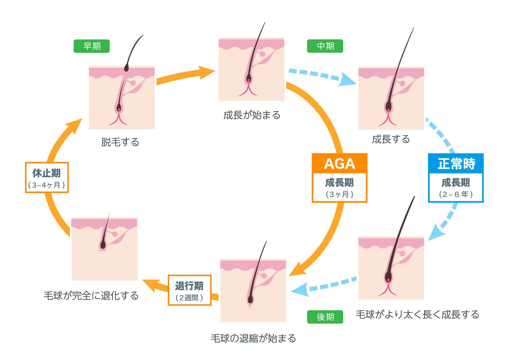 髪のサイクルと寿命のイメージ